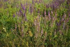 Officinalis médicinaux sages de Salvia Image stock