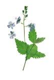 Officinalis pressés et secs de Veronica de fleurs, d'isolement photos libres de droits