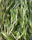 officinalis rozmarynów rosmarinus Fotografia Stock