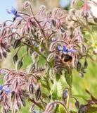 Officinalis van borageborago starflower met honingbij Royalty-vrije Stock Foto
