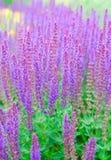 Officinalis van Salvia Royalty-vrije Stock Afbeelding