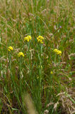Officinalis yellow flowers immortelle on a background of green grass meadow Royalty Free Stock Photography