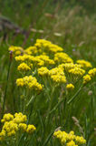 Officinalis yellow flowers immortelle Stock Photos