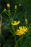 Officinalis yellow flowers immortelle Royalty Free Stock Image