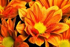 De sinaasappel van Calendulaofficinalis royalty-vrije stock afbeelding