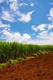 Officinarum di Sugar Cane Field-Saccharum Immagini Stock Libere da Diritti