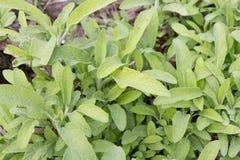 Offinicalis de Sage Salvia Photographie stock libre de droits