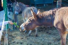 Offre de nourriture à la mule images libres de droits
