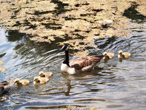 Offspring (Gooses) Royalty Free Stock Photos