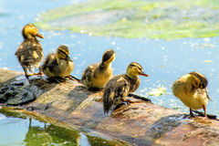 Offspring of an mallard duck. Sitting on a plank in a pond Royalty Free Stock Image