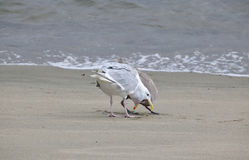 Offspring Stimulates Mother Seagull Stock Photo