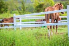 Offuschi i cavalli nel fondo e le erbe con la rugiada di mattina a priorità alta, prato verde per i cavalli con una stalla Fotografia Stock Libera da Diritti