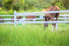 Offuschi i cavalli nel fondo e le erbe con la rugiada di mattina a priorità alta, prato verde per i cavalli con una stalla Fotografia Stock