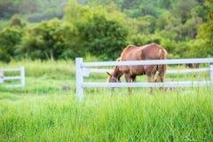 Offuschi i cavalli nel fondo e le erbe con la rugiada di mattina a priorità alta, prato verde per i cavalli con una stalla Immagine Stock