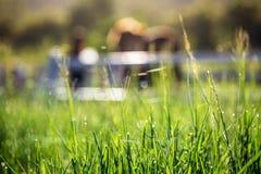 Offuschi i cavalli nel fondo e le erbe con la rugiada di mattina a priorità alta, prato verde per i cavalli con una stalla Fotografie Stock