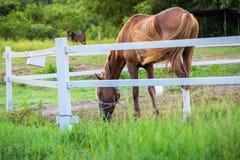 Offuschi i cavalli nel fondo e le erbe con la rugiada di mattina a priorità alta, prato verde per i cavalli con una stalla Immagini Stock Libere da Diritti