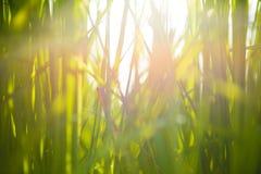 Offuschi l'immagine della foglia verde del riso sul fondo dell'alba Immagine Stock Libera da Diritti