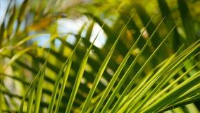 Offuschi la foglia di palma verde tropicale con la luce del sole, sfondo naturale astratto con bokeh Fogliame fertile Defocused stock footage