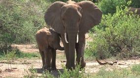 Oficio de enfermera del becerro del elefante africano de su madre almacen de metraje de vídeo