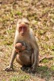 Oficio de enfermera del Macaque de capo fotos de archivo
