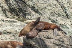 Oficio de enfermera del perrito del lobo marino de Nueva Zelanda en rocas en el cabo Palliser fotos de archivo libres de regalías