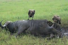 Ofprey e bufalo degli uccelli degli avvoltoi dell'Africa Tanzania Fotografie Stock
