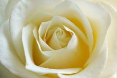 Ofrezca, abierto, blanco - el amarillo se levantó Imagen de archivo