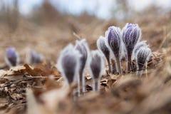 Ofrezca a primera lila de las flores de marzo de la primavera la pasque-flor azul, Fotos de archivo
