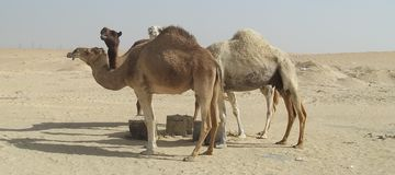 Stray Camels In The Saudi Arabian Desert. Often camels in the Saudi Arabian desert are abandoned by unsatisfied herd leaders. They are then forced to look for Royalty Free Stock Photos