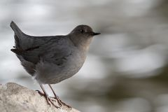 American dipper along the river stock images