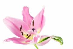 Ofullbordad rosa liljablomma Fotografering för Bildbyråer