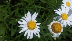 Ofullbordade vita tusenskönor i solsken från ovannämnt med grön lövverk Fotografering för Bildbyråer