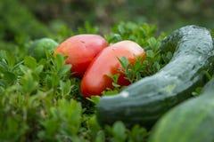 Ogórek i tomatoe w ogródzie Zdjęcie Royalty Free