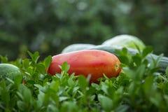 Ogórek i tomatoe w ogródzie Obraz Stock
