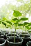 Ogórek rośliny rozsada Zdjęcia Stock
