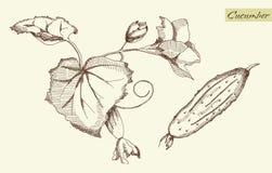 Ogórek, wektorowa ilustracja Obrazy Stock