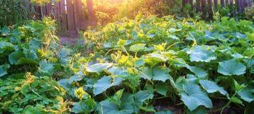 Ogórków baty w ogródzie obrazy stock
