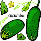 Ogórki i liście warzywa na białym tle ilustracji