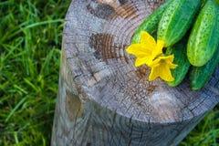 Ogórki na fiszorku w ogródzie Zdjęcie Royalty Free
