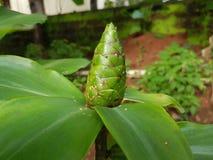 Ogórkowa drzewna owoc zdjęcie stock