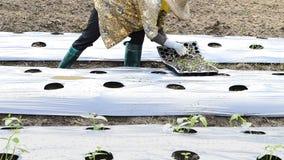 Ogórkowa roślina w wsi gospodarstwie rolnym zbiory wideo