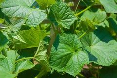 Ogórkowa zielona roślina Zdjęcia Royalty Free