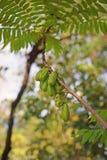 Ogórkowy drzewo lub drzewo kobylak, owoconośny drzewo Obraz Royalty Free