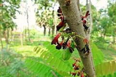 Ogórkowy drzewo lub drzewo kobylak, owoconośny drzewo Obrazy Royalty Free