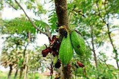 Ogórkowy drzewo lub drzewo kobylak, owoconośny drzewo Obrazy Stock