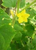 ogórkowy kwiat Obraz Stock