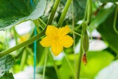 Ogórkowy kwiat na gałąź fotografia stock
