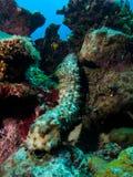 ogórkowy morze Zdjęcie Royalty Free