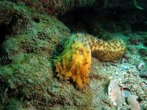 ogórkowy morze Zdjęcia Stock