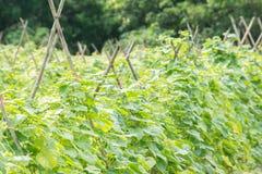 Ogórkowy rośliny uprawiać ziemię Obraz Stock